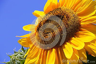 Sunflower - Stock Photos - Download From Over 61 Million High Quality Stock Photos, Images, Vectors. Sign up for FREE today. Image: 94491726