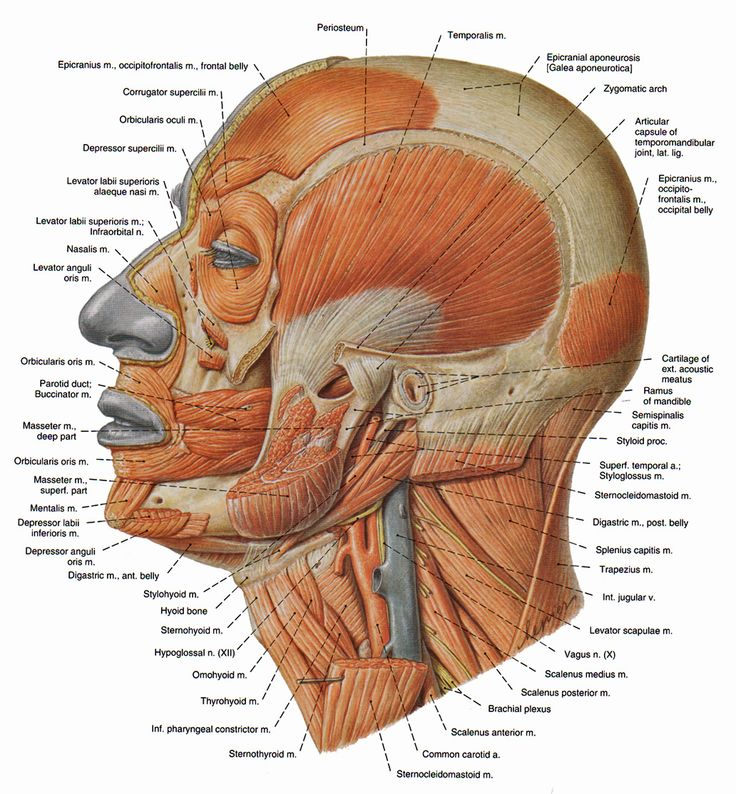 17 best Dysphagie/Anatomie images on Pinterest | Speech language ...