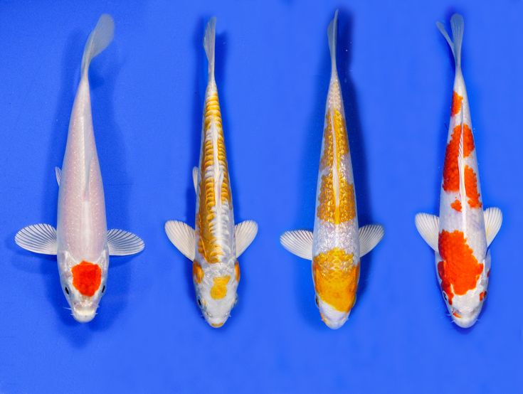 176 best koi fish images on pinterest japanese koi koi for Koi hatchery