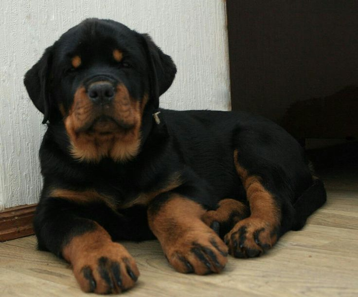 Rottweiler puppy ...look at the paws...look at that face!