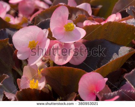 Begonia Stock Fényképek, képek és rajzok | Shutterstock
