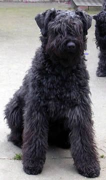 Bouvier.........I so miss Kirby and Bailey. They both stole my heart.
