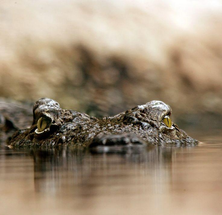 W południowej Afryce trwa wielkie polowanie – do największej w regionie rzeki Limpopo przedostało się z hodowli około 10 tysięcy krokodyli.