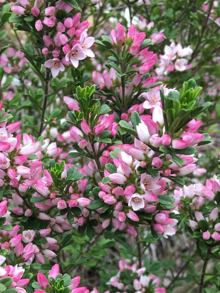 Sticky Boronia - anemonifolia Rare Tasmanian flora