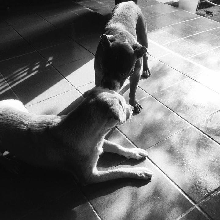 #labmix #mutt #mongrel #pitbull #anjing #anjingkampung #pitbullsofinstagram #anjingsukabumi #anjingindonesia #adopt #rawfed #rednosepitbull Photo : http://ift.tt/1LRjJNI