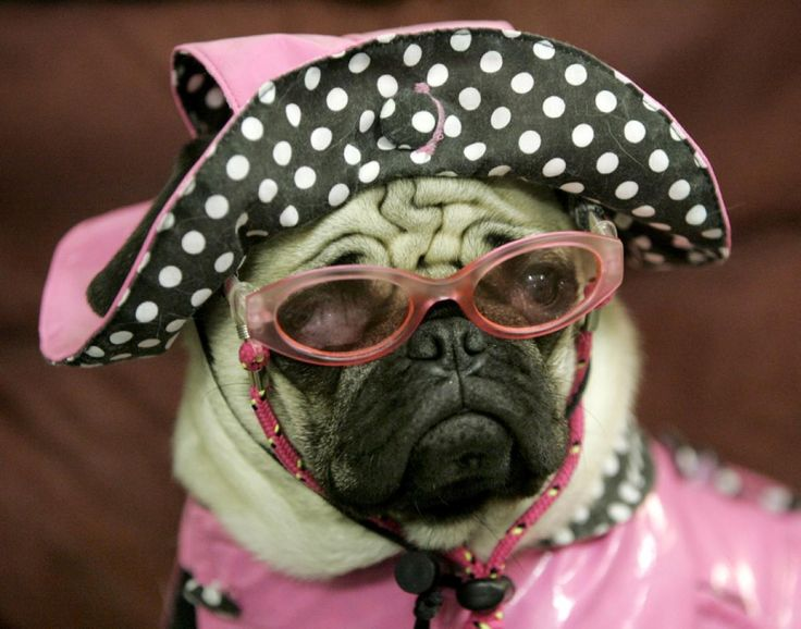 Pug wearing sunglasses - Photos - Animals in sunglasses ...