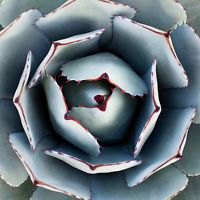 AGAVE PARRYI TRUNCATA rare succulent artichoke plant exotic garden seed 50 SEEDS