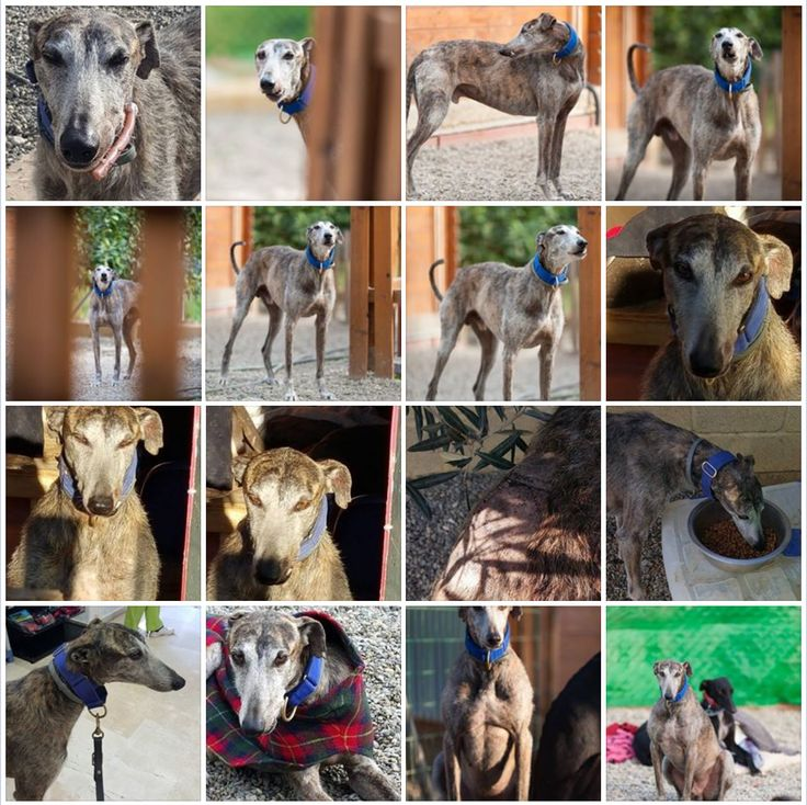 OCEAN - FOR ADOPTION It never ceases to amaze me the sheer survival of a Galgo. He is handling his mouth surgery amazingly. He's had bone taken from the hip and implanted into the jaw and here is a few days later eating kibble.  Male. Castrated. More info: comdelrio@hotmail.com