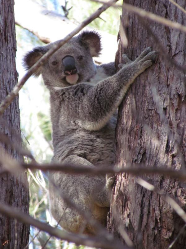 Less than 30 seconds from our deck. One of our regular visitors, 'Elsie' the Koala. The home and land these animals live on was sold for $2.3 Million, via a Domain Name (PrivacyIsTheUltimateLuxury.com) - Lease or Buy this, or others. See http://www.australiahouses.com.au/real-estate-domain-names