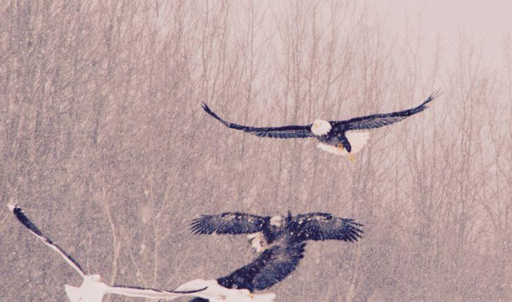 Bald eagles, Nova Scotia #baldeagle #novascotia #nature