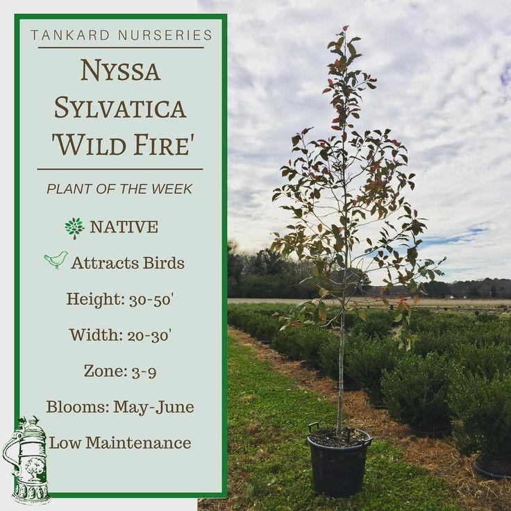 Plant of the Week: Nyssa Sylvatica 'Wild Fire' ✔️Native ✔️Attracts Birds ✔️Low Maintenance #tankardnurseries #wholesale #nursery #grower #tree #nyssa #native #plantoftheweek