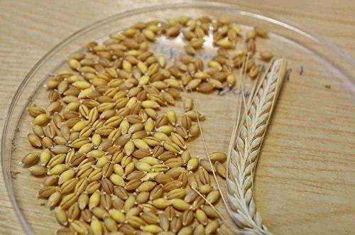 Premium Quality Unhulled Barley Grains (Jav) - जौ 2Kg