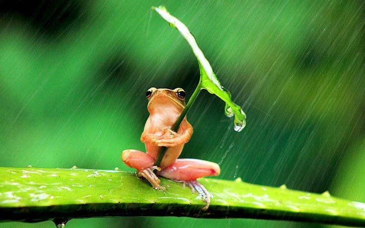 A tree frog in Jember, Indonesia, shelters from the rain under a leaf. The amphibian reportedly held the leaf for 30 minutes before the storm passed. Picture: PENKDIK PALME/NEWSTEAM