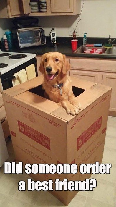 I'm here! Feed me and show me to your bed :) Golden retriever delivery service. Did you order a best friend? www.facebook.com/rescuepawspage