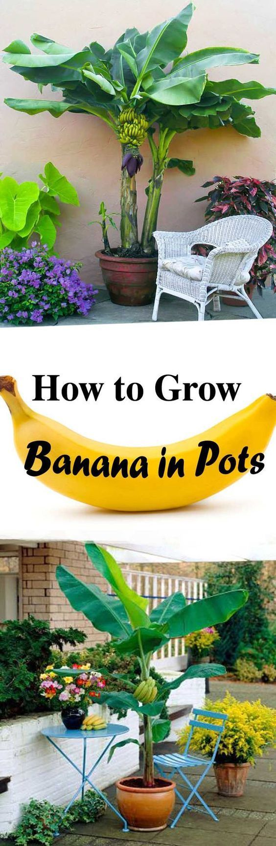 Learn how to grow world's most consumed fruit in container. Get a healthy and prolific banana plant by following these simple steps. | Balcony Garden Web