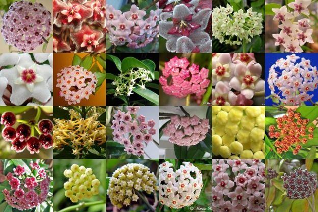 Focus on Flowers - Indiana Public Media   Hoya Rhymes With Moya