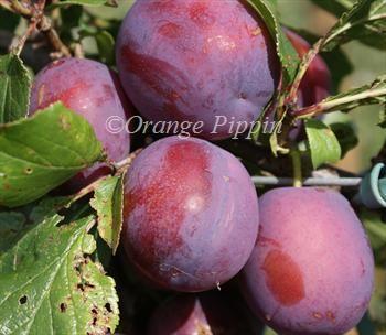 Marjorie's Seedling plum trees for sale | Buy online | Friendly advice