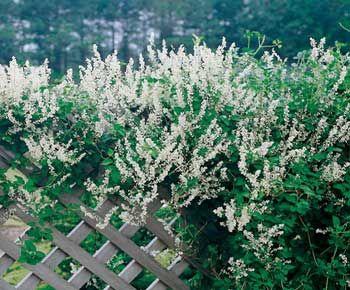 Las plantas enredaderas y trepadoras son adecuadas para el cultivo en maceta. Pueden ubicarse perfectamente en el balcón o en la terraza, sólo necesitan un tiesto no muy pequeño.