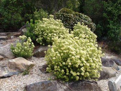 Phyllica plumosa • Australian Native Plants • Plants • 800.701.6517