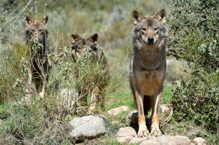 Iberian wolves (Canis lupus signatus) are a subspecies of