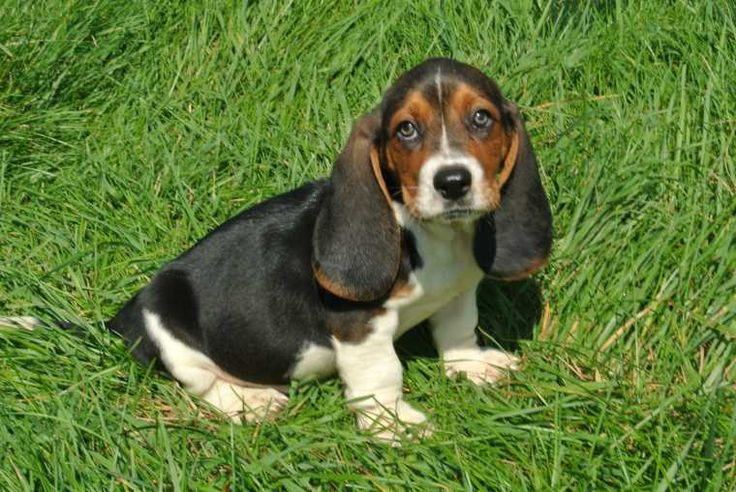 Miniature Basset Hound - For Sale Ads - Free Classifieds