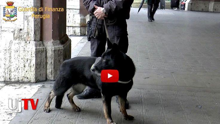 Le immagini in presa diretta del cane antidroga Olinda, della Guardia di Finanza, in azione a Perugia