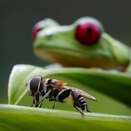 Red eyed tree frog with fly by René Heylen