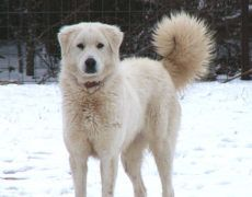 The Akbash Dog (from Turkish: Akbaş 'white head' is native to western Turkey and it is primarily used as a livestock guardian dog or shepherd dog.