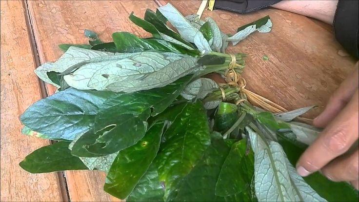 Daun Reundeu jual 085659344517 khasiat manfaat bentuk pohon reundeu