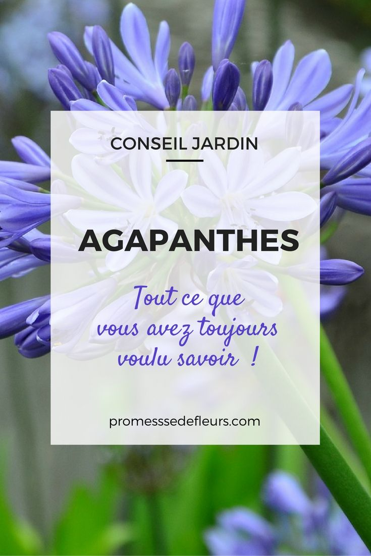 Agapanthes, tout ce que vous avez toujours savoir... #Agapanthe Plus