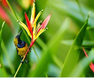 4 Jenis Burung Kolibri di Indonesia | Burung Nusantara