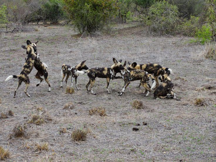 Tijdens onze safari zien we ook nog een groep wilde honden #wilddog #SouthAfrica