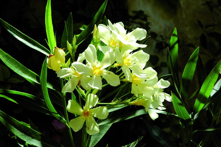 Oleandro bianco