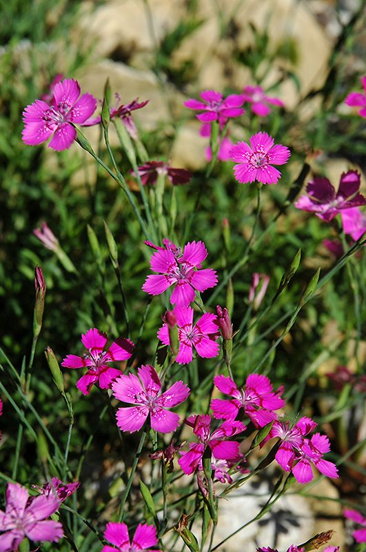 Alpine Pinks (Dianthus alpinus) at Hicks Nurseries
