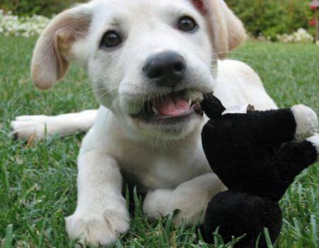 Buddy the Labrador Mix