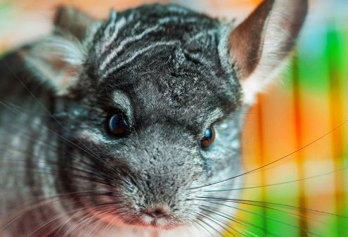 Chinchillas are native to the west coast of South America where they live in herds at high altitude. Considered to have some of the softest fur of all... #chinchillas #petfoods