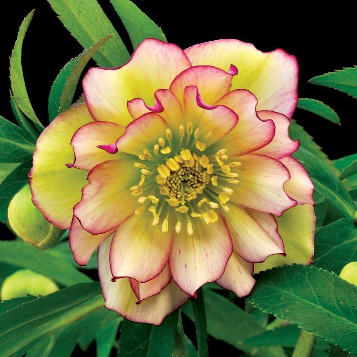231 best images about hellebores  lenten rose  on pinterest