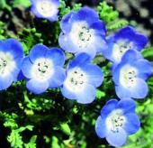 Nemophila Baby Blue Eyes - Sow Late Spring & Early Summer - HA 25cm