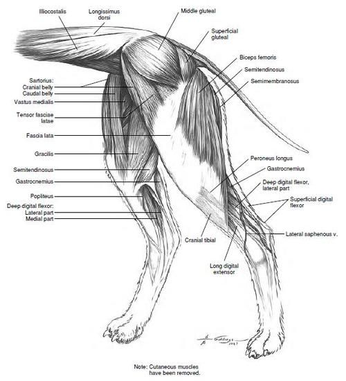 Dog back leg muscle diagram diy wiring diagrams 149 best canine animal rehab images on pinterest animal anatomy rh pinterest com chow muscle leg diagram dog leg tendon anatomy ccuart Gallery