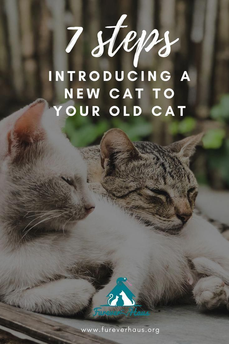 Introducing Your New Cat To Your Old Cat Can Be Challenging But With A Little Patience You And Your Old Cat May Find A Introducing A New Cat Old Cats Cat