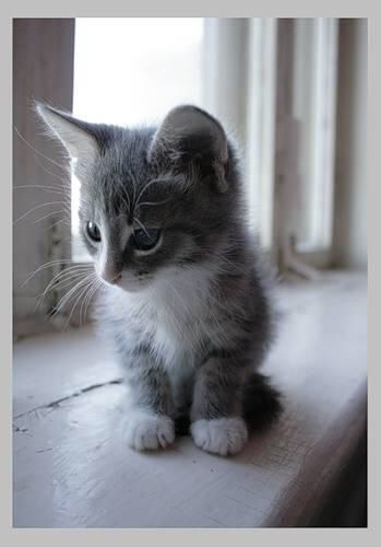 Perfect grey and white kitten