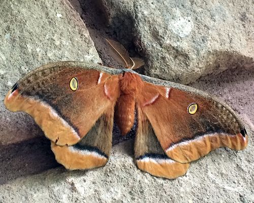 Out on the deck having my morning coffee and saw this guy...from a distance I thought (hoped) it might be a bat! (It's a good 5 inches wide...Terri said it was a Polyphemus moth. Shrug.)