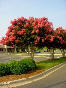 Tuscarora Crape Myrtle on Fast Growing Trees Nursery