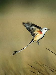 here is almost no mistaking the scissor-tailed flycatcher. The male's nine-inch-long tail and the female's slightly shorter one proclaim their identity whether seen in good light or in silhouette, flying or perched. Except for the fork-tailed flycatcher of the American tropics (an extremely rare vagrant north of the Mexican border), no other North American bird has such a long, narrow tail compared with its body size.