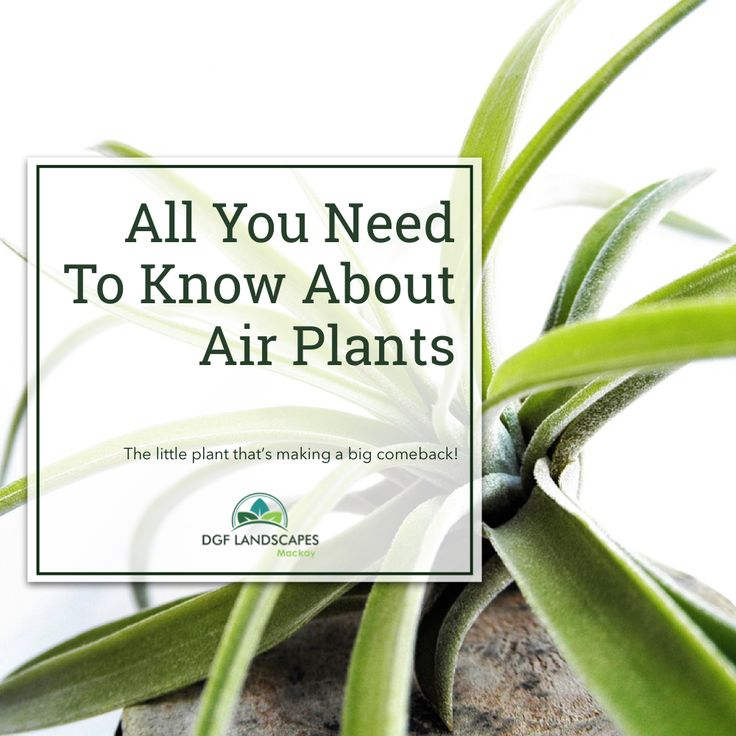 All You Need to Know About Air Plants   DGF Landscapes Mackay