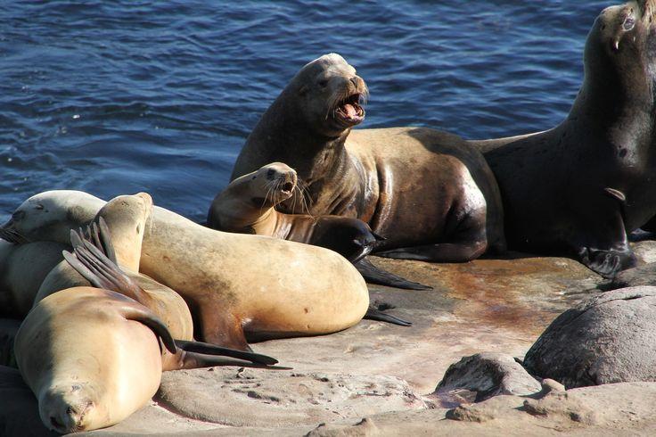 focas, leones marinos, océano, salvajes, costa, 1612292358