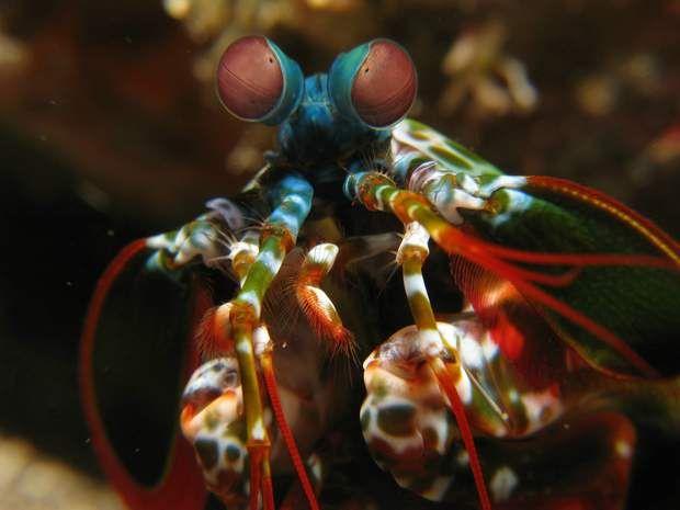 La crevette-mante, aussi appelée squille - famille de crustacés, que l'on retrouve principalement entre les océans Indien et Pacifique, composée de plusieurs espèces, dont la crevette-mante paon ou squille multicolore. Cette espèce, dite «frappeuse», est munie de petites massues calcaires qui lui permettent de frapper, très rapidement et avec beaucoup de force, ses proies ou ses ennemis. Cette crevette est dotée d'yeux très perfectionnés, qui lui offrent une vision à 360°.