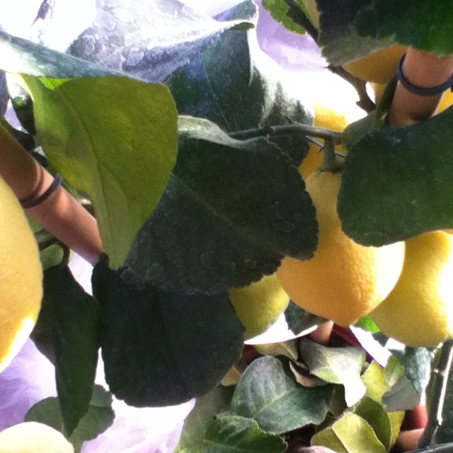 Lemons at Farmhouse Castagnola 64