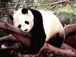 de reuzenpanda, ook wel de bamboo genoemd.  hij kan ongeveer 150 kilo worden. en wordt ongeveer 15 jaar oud. maar in de dierentuin kunnen ze ongeveer 20 jaar oud worden.   er zijn er nog  zo'n 1600 in het wild.