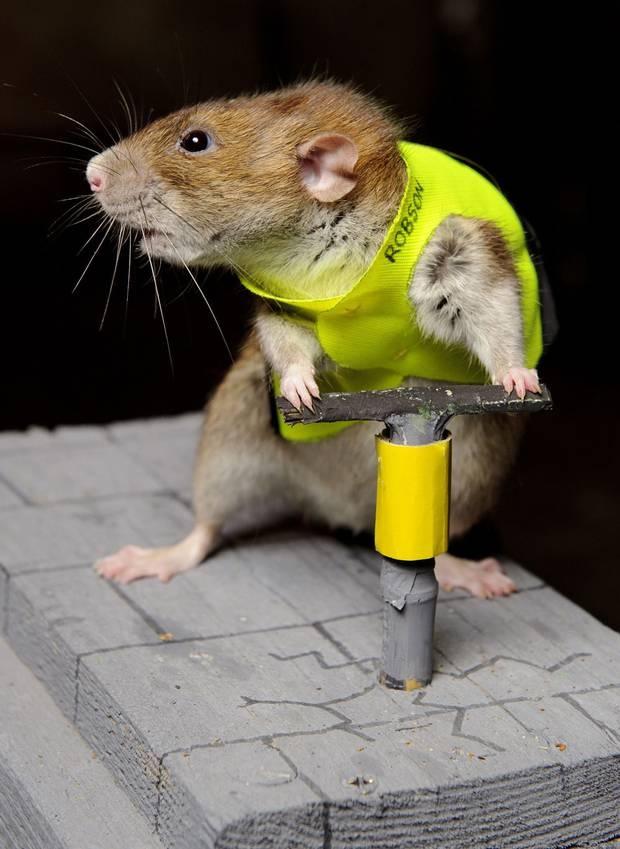 Construction Worker Rat